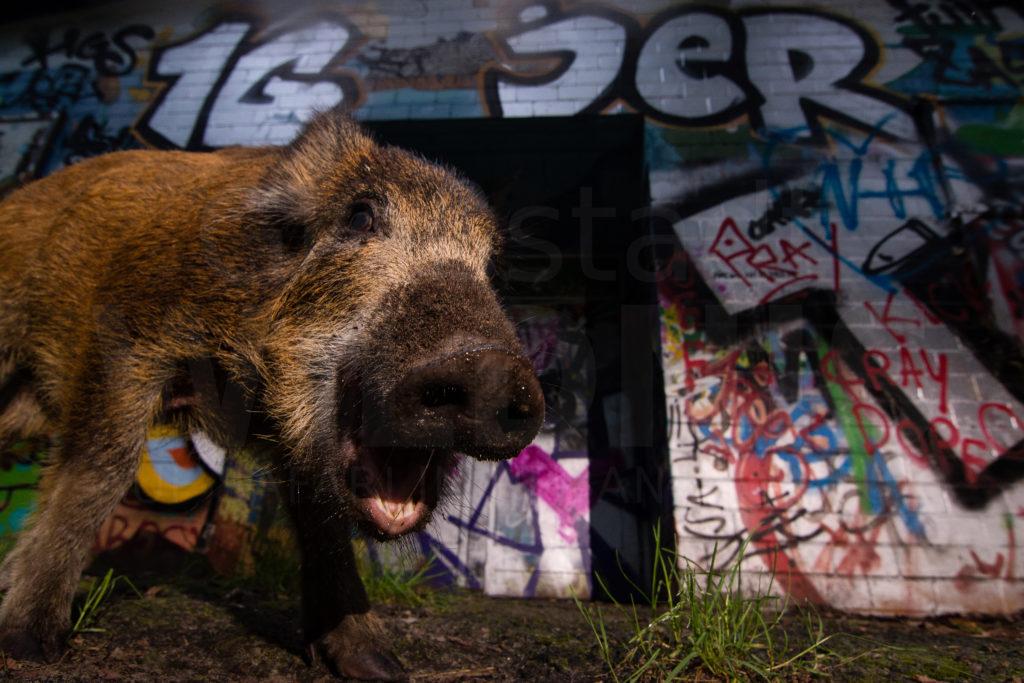 Frischling_Graffiti_Nacht_Berlin_Tiere in der Stadt_Stadtnatur_Keynote Speaker_Multivision