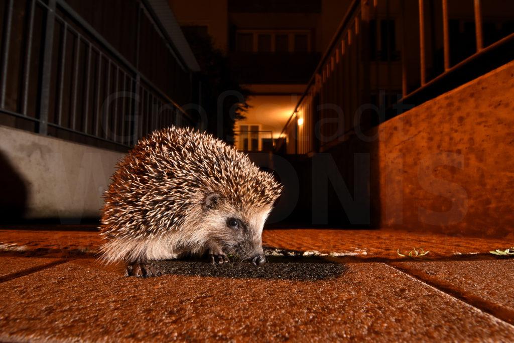 Igel_Nacht_Stellwerk_Kelleraufgang_dunkel_Tiere in der Stadt_Stadtnatur_Keynote Speaker_Multivision