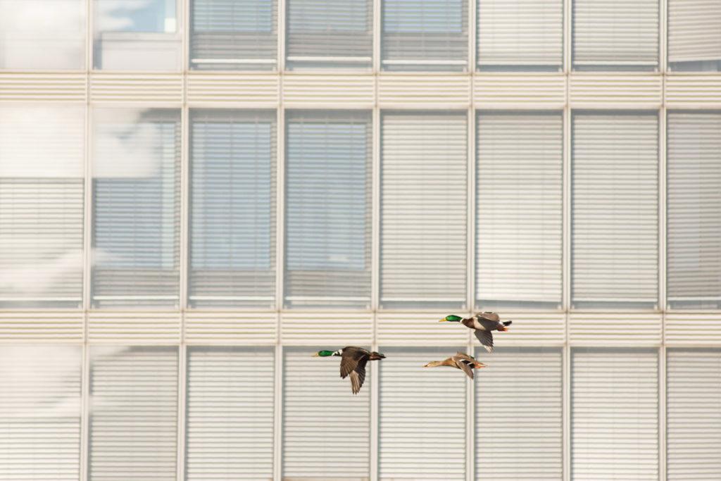 Stockenten_fliegen_Fassade_Einleitung_Tiere in der Stadt_Stadtnatur_Keynote Speaker_Multivision